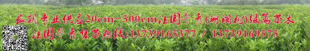 江苏苏州张家港法国冬青/珊瑚树种植基地,售苗热线:13739165377 13739169575