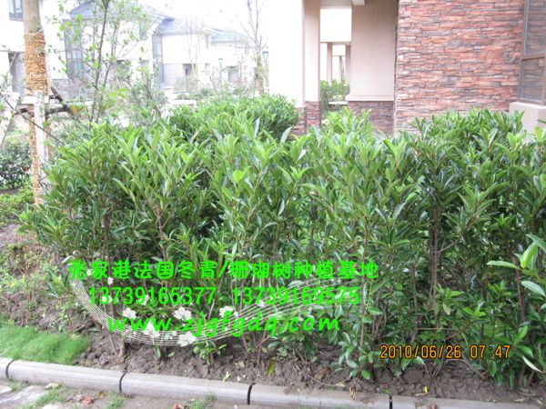 別墅區里法國冬青(珊瑚樹)作為綠籬的種植效果