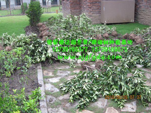别墅区里法国冬青(珊瑚树)作为绿篱的种植效果