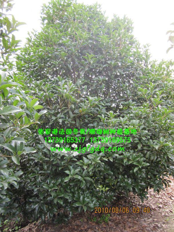 本基地种植供应的桂花树