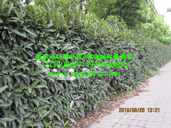常见的绿篱种类 - 法国冬青绿篱