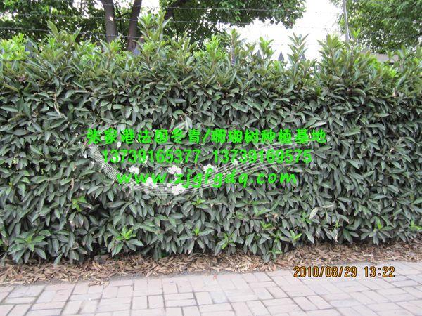 道路边上种植的法国冬青绿篱造型