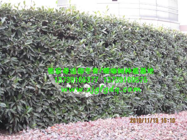 办公区法国冬青绿篱图片-江苏苏州张家港法国冬青/树