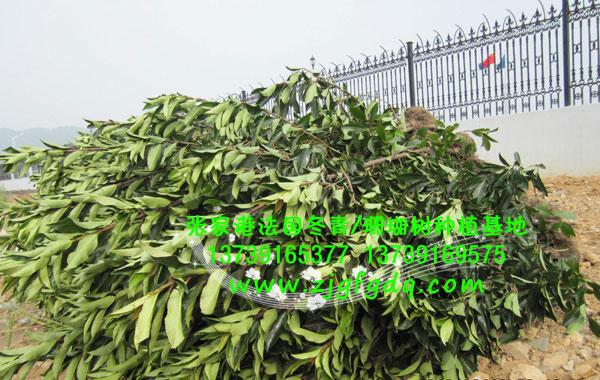 法国冬青绿篱苗木