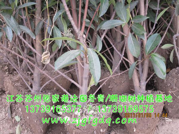 8米高法国冬青/珊瑚树绿篱苗木