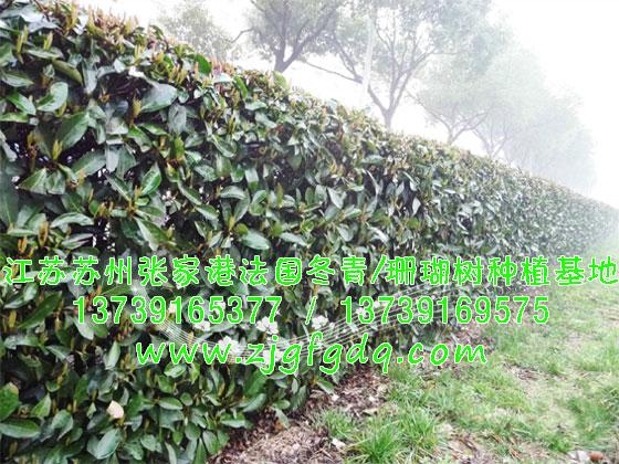 公园法国冬青绿篱图片;