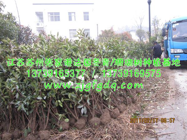 生态果园示范园区种植法国冬青绿篱