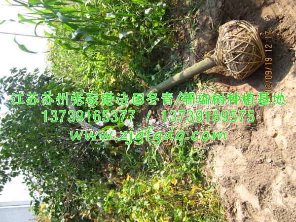 8cm大叶女贞-江苏苏州张家港法国冬青/珊瑚树种植
