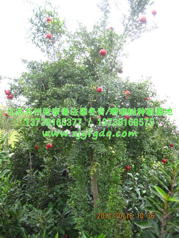 精品石榴树