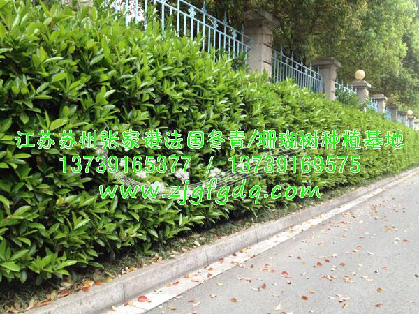 围墙边种植法国冬青绿篱