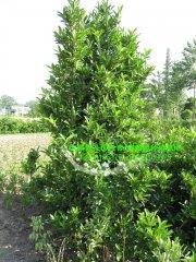 2米法国冬青(珊瑚树)