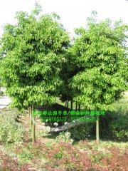 8-10公分香橼树