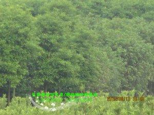 香橼树和法国冬青(珊瑚