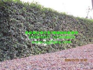 法国冬青绿篱景观绿化带