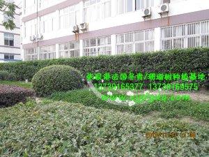 办公区法国冬青绿篱图片