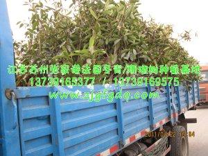 1.2米高法国冬青/珊瑚树