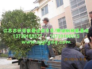 香橼树移栽种植过程图片