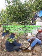 橘子树/桔子树挖苗包装