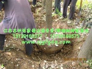 挖香樟树的过程
